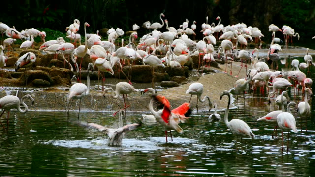 White feather Flamingo in the pond video