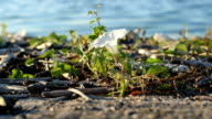 White field bindweed flower on shore near river video