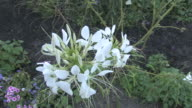 White flower - HD 1080/30F video