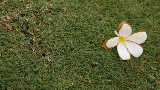 4K : White flower on grass field video