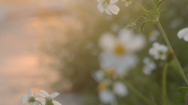 white flower on sunset time video