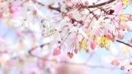 White Flower with pink and blue pastel background video