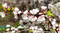 White flowers and buds of an apricot video
