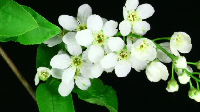 White flowers blooming video