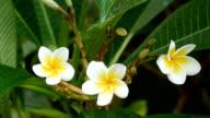 white Flowers Frangipani video