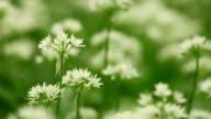White flowers of Allium ursinum video