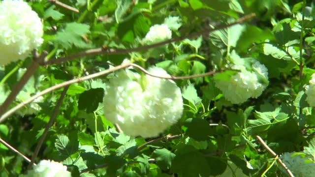 White flowers on a branch of viburnum video