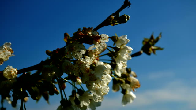 White flowers on blossoming cherry tree in spring. Bunch of cherry flowers and green leaves on cherry tree. video