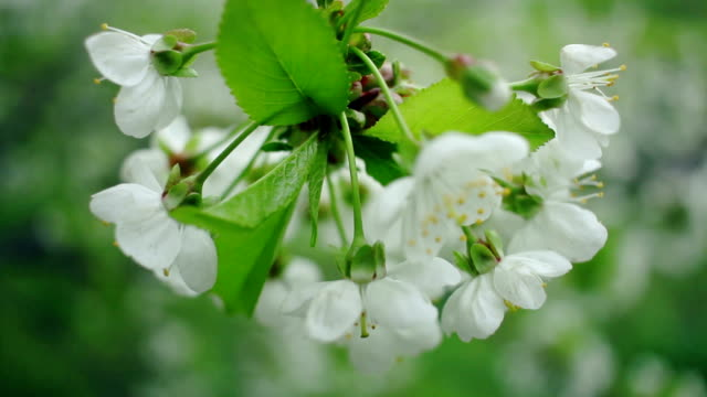 White flowers on cherry tree. Spring background. Cherry tree blossoming video