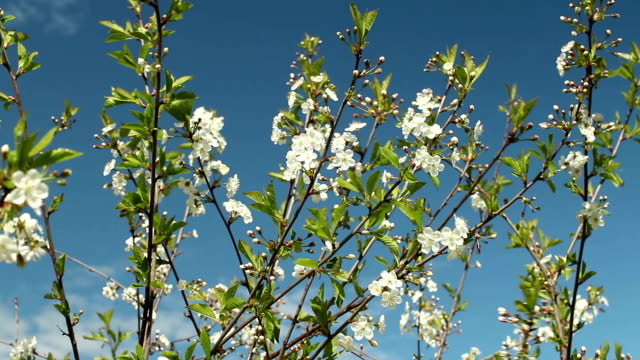 White flowers on sakura branches video