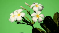 white flowers plumeria with green background video