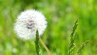 White Fluffy Dandelion video