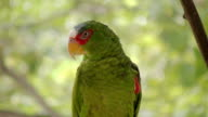 White Fronted Amazon Parrot  Scratching (HD) video