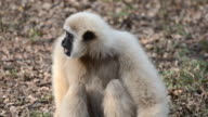 White gibbon video