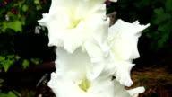 white gladiolus video