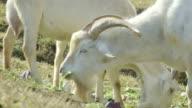 White goat feeding video