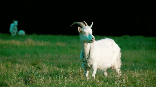 A white goat with a chain on its neck eating grass video
