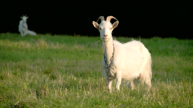 A white goat with a chain on its neck video