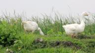 White Goose Living on the plains video