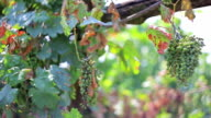 White grape for wine production video