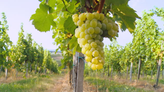 HD DOLLY: White Grape Hanging From Vine video