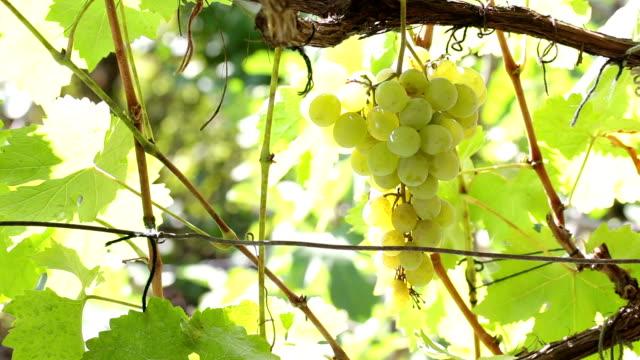 White grape video
