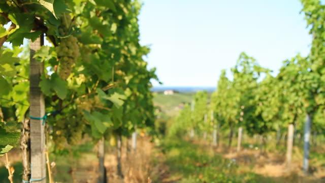 HD DOLLY: White Grape Vineyard video