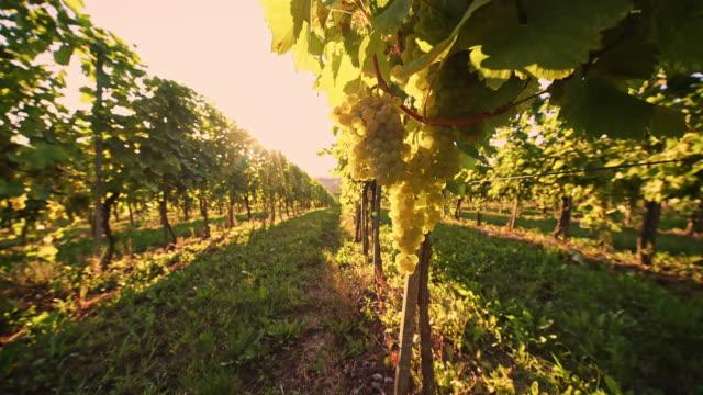 DS White grape vineyard video
