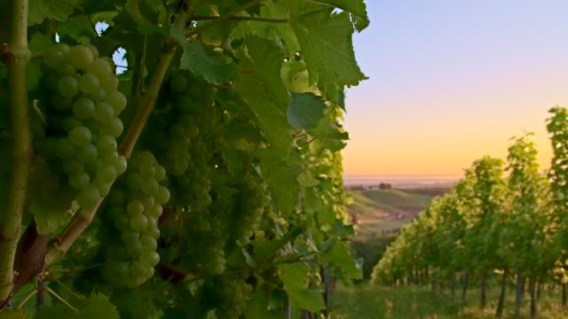 MS DS White Grape Vineyard video
