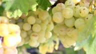 white grapes - a variety of Italy video
