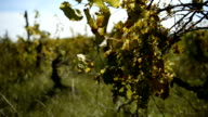 White grapes during autumn harvest video