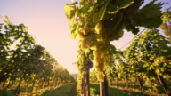 DS White grapes hanging off the vine in vineyard video