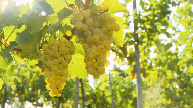 HD DOLLY: White Grapes Illuminated By The Sunlight video