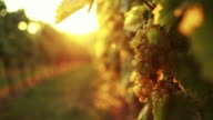 White grapes in the afternoon sun video