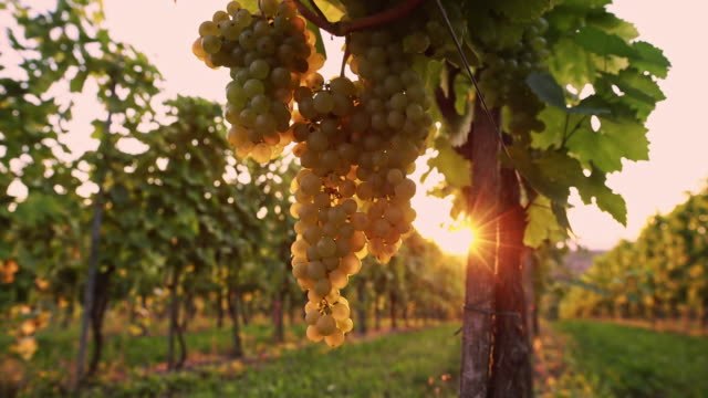 DS White grapes in the vineyard video