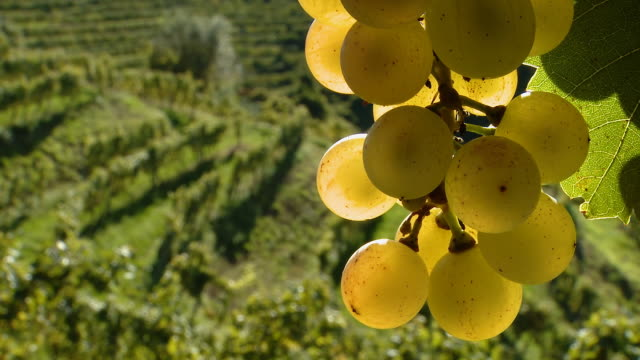HD DOLLY: White Grapes In Vineyard video