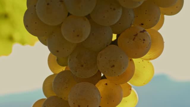 ECU White grapes video