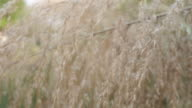white grasses flower sway with the wind video