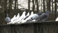 White & Grey Pigeons - HD & PAL video
