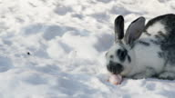 White grey rabbit sits on snow in park gnawing carrot slow motion video