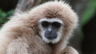 4K: White Handed Gibbon or Lar Gibbon video