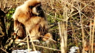 White Handed Gibbon video