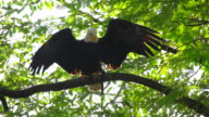 White Head Eagle Expand Wings Slow video