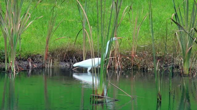 White Heron on the Shoreline video