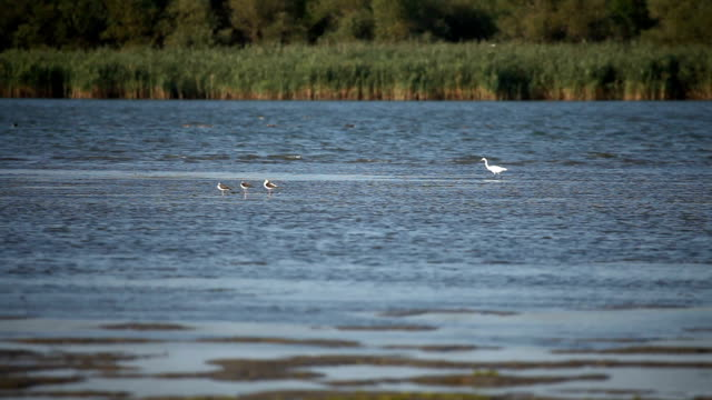 White heron on the water video