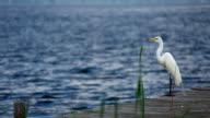 White Heron video