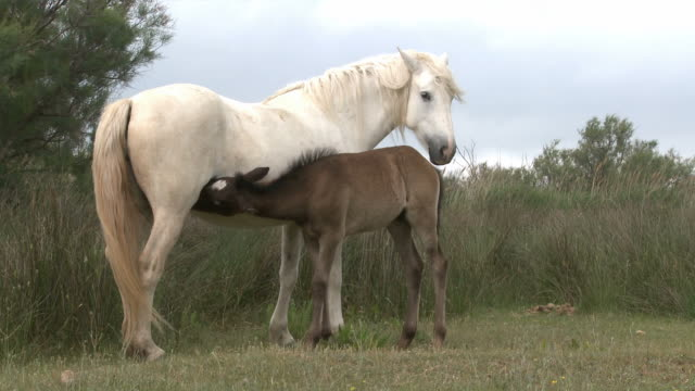 White horse and suckling foal video