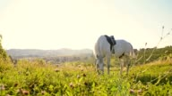 SLO MO White horse eating grass on meadow video