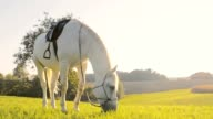 SLO MO White horse eating grass on pasture video