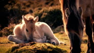 White Horse Foal Lying Near Mother video